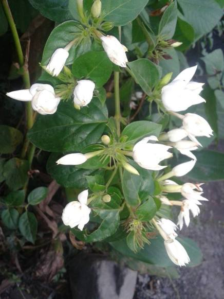 Kundo, An endangered and most memorable flower among those Manipuri couples