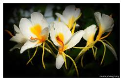 Takhellei is the most romanticized flower in manipur