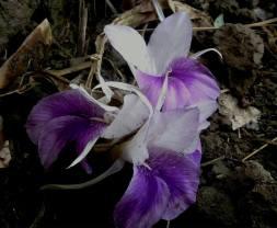leibaak-lei (one of indigeneous flower of Manipur)