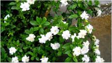 -*Life is the flower for which love is the honey*_White Gardenia (KABOKLEI)