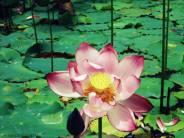 A full grown lotus at Akampat, Sinjamei