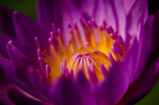 Tharo (water lily), one of the sacred flower of Manipur.