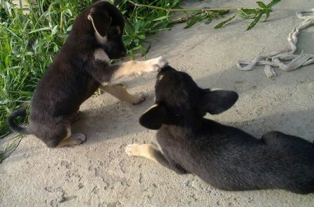 We are just 5 weeks old; Waiting to be named; Playing at Khuman Lampak. Picture courtesy : Jin So Athokpam