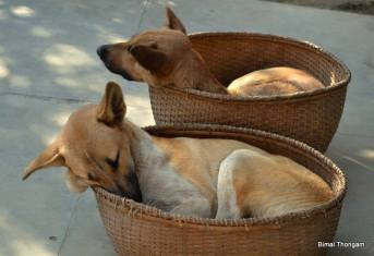Nothing beats napping in our favorite cozy place, My owner doesn't eat chicken but when people offer her chicken, She saves it for us , calling us Bonee and Bonee Cha with her sweet voice we know we are having a big treat. Picture courtesy : Bimal Thongam