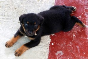 I had many affairs with so many dogs in my life, earlier with lots of Desis and later with the videshis, but that also a GSD gone, a Dobb gone, a Labb stolen few days back and at present having an affair with my latest Weiler - Rocky Picture Courtesy : Loyangamba Khundongbam