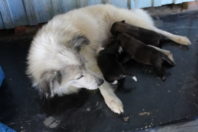 Reacts fondly with love to her master, maybe weak but dangerous to strangers, no one dares to enter her teritory...Her name is SHONBI..feeding her cute puppies... Picture courtesy : Gobin Sapam