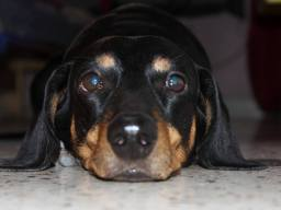 Many people don't like the Dachshund breed but this one has given me so many memories to cherish, he is quite the cunning one. His name is Willy Boy. Picture Courtesy : Dayrik Nemo Kh