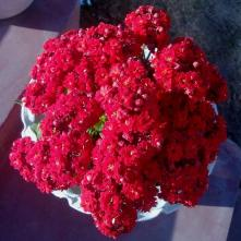 Red kalanchoe flower somewhere at Kakching in Manipur. RED color sparkling the love making you stop to click such a beautiful flower. With Valentine's day coming up, lets have red flower theme for picture of the day. Mobile Photography by Rebeck Loutongbam