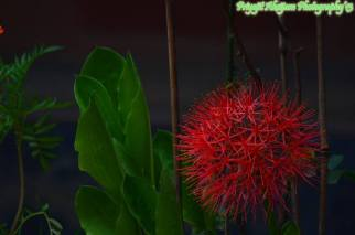 A beautiful red flower blooming somewhere in Manipur. Do you know the name of this flower ? A photograph by Priyojit Akoijam