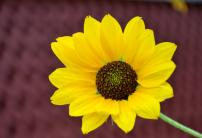 Sunflower, love it anywhere anytime, A photograph by Bimal Thongam