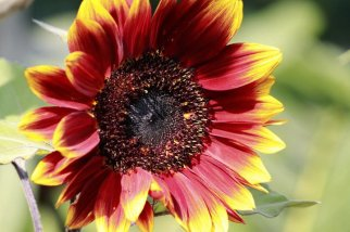 Sunflower always brightens my day. Do you like sunflowers ? , A photograph by Bobo Meitei