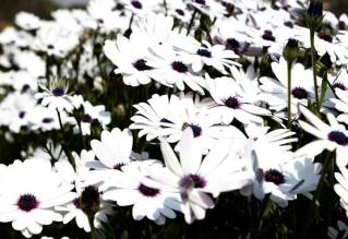 FindingTheVoices_WhiteFlowers (14)