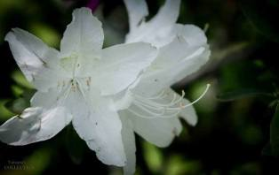 FindingTheVoices_WhiteFlowers (2)