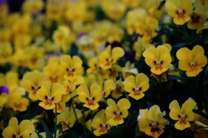 FindingTheVoices_YellowFlowers (2)