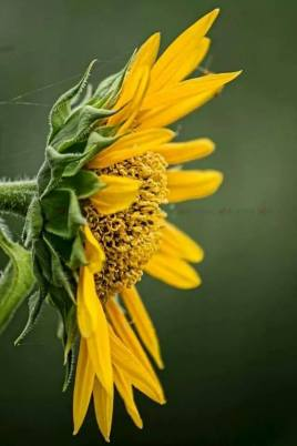 Beautiful Sunflower, A photograph by Kosygin Leishangthem