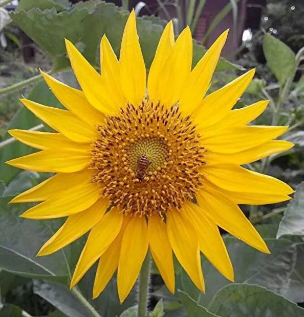 #Sunflower Simple and beautiful. , A photograph by Manjiil Sharma