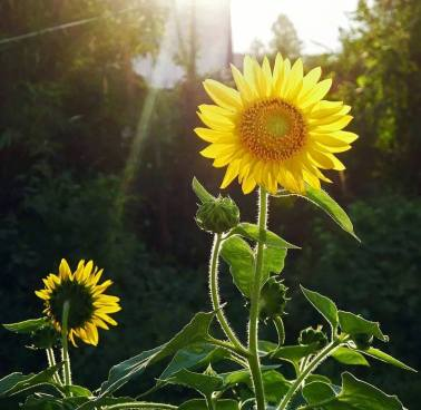 It's a brand new day starting on a clean slate. Beautiful #Sunflower , A photograph by Loyangamba Khundongbam